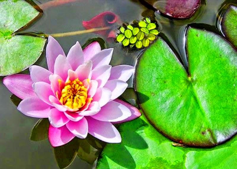 flor de loto 7